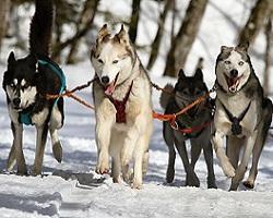 chien de traineau seminaire alpes pyrenees neige